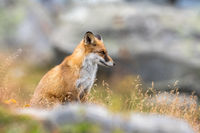 Portrait of a Red fox Vulpes vulpes sitting in grass