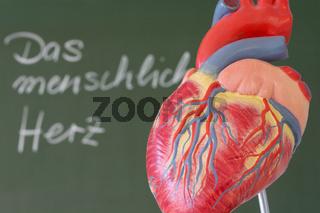 Modell menschliches Herz