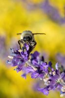 bee on violet lavender in spring garden