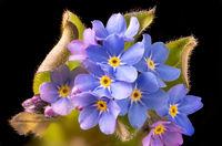 Nahaufnahme von einer Vergissmeinnicht Blüten und Blättern vor dunklem Hintergrund
