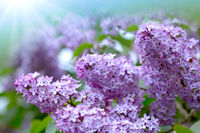 Branch with spring lilac flowers in garden.