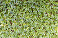 Thick ivy grows up the red wall