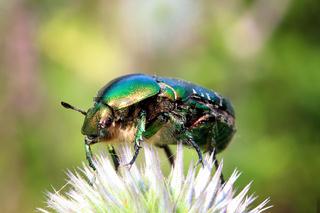 chafer beetle on flower macro