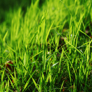 green grass macro close up