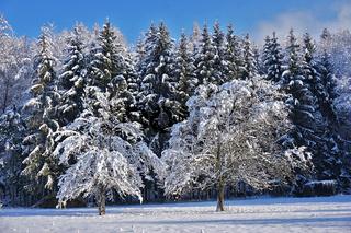 Verschneite Bäume von winterlichem Nadelwald