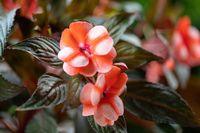 red flower New Guinea impatiens