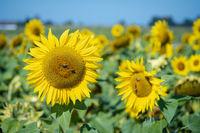 Groups of bees sitting on blooming yellow sunflowers as a macros on a warm day in summer.