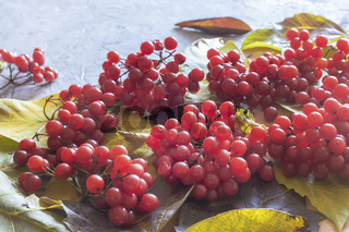 Red bunches of viburnum on autumn leaves