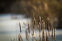 Rohrkolben im Winter