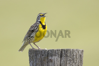 Perched western meadowlark singing.