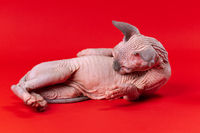 Funny 4-month-old Canadian Sphynx Cat of blue mink and white lies on its side on red background