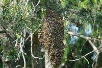 Apis mellifera, Europaeische Honigbiene, western honey bee, Schwarm, swarm