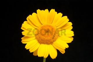 Blüte der Färberkamille, Heilpflanze, Färbepflanze