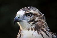Macro view of a adult Red Tail Hawk head