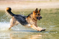 Young happy German Shepherd, playing in the water. The dog splashes and jumps happily in the lake