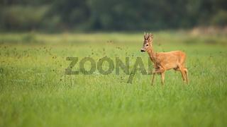 Roe deer buck walking on the green meadow in summer with copy space