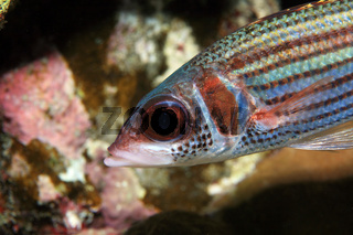 Silberflossen-Husarenfisch, Clearfin Squirrelfish, Neoniphon argenteus