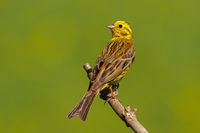 Yellowhammer sitting on branch in summer sunlight.