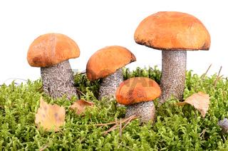 Orange-cap boletus