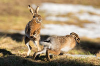 Two brown hare fighting on field in spring nature.