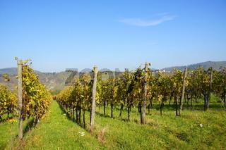 Weingärten bei Pünderich an der Mosel