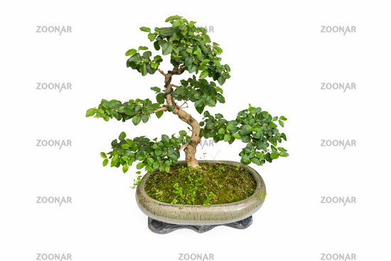 elm bonsai isolated