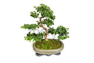 elm bonsai isolated