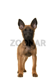 Belgian shepherd or Malinois dog puppy looking at the camera standing isolated on a white background