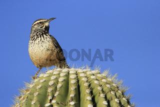 Cactus Wren sitting on saguaro cactus (Campylorhynchus brunneicapillus)