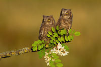 Two eurasian scops owl chicks sitting on branch in spring