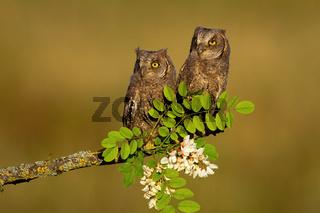Two eurasian scops owl chicks sitting on branch in spring