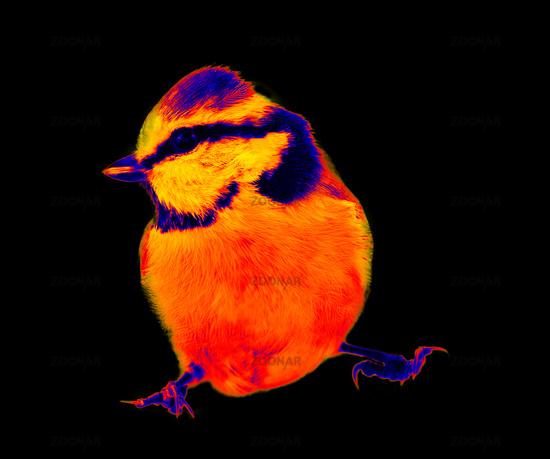 blue titmouse (Parus caeruleus) in scientific high-tech thermal imager