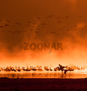 flocks of flamingos in the sunrise