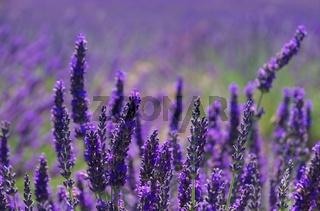 Lavendelfeld - lavender field 49