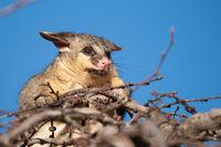brush tail possum in tree