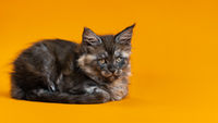 Young cute female cat of color black smoke of Maine Coon Cat breed lying down on yellow background