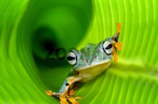 flying green tree frog inside banana leaf