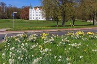 Schloss Ahrensburg, Narzissen im Frühling auf einer Verkehrsinsel