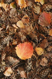 Yellow and red leaf