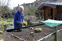 Hobbygärtner pflanzt junge Salatpflanzen ins Hochbeet