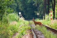 Disturbed roe deer crossing the grassy railway on sunny day.