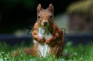 Eichhörnchen sitzt auf einer Wiese