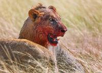 Löwe nach dem Beutezug, Etosha-Nationalpark, Namibia, (Panthera leo) | lion after killing an antelope, Etosha National Park, Namibia, (Panthera leo)