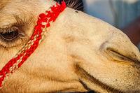 Of the Arabian desert camel (United Arab Emirates)
