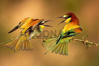 Two european bee-eaters fighting over best place on branch illuminated by morning sun