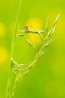 Malven-Würfelfleck schauend