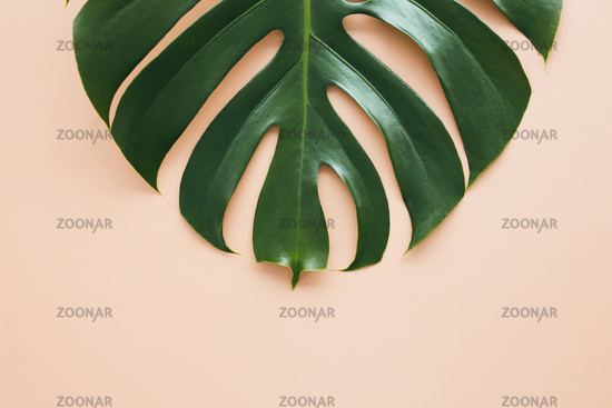 Monstera palm green leaf on beige background