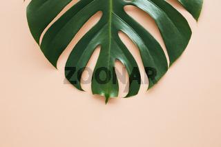 Monstera palm green leaf on beige background