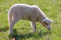 Lamm auf der Weide