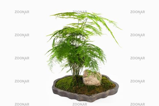 green asparagus fern bonsai isolated